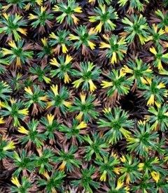 Azorella trifurcata, Aзорелла трехвильчатая