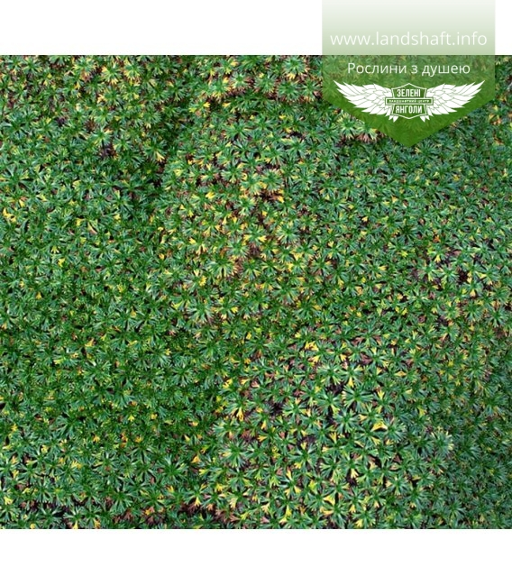 Azorella trifurcata Aзорелла трехвильчатая