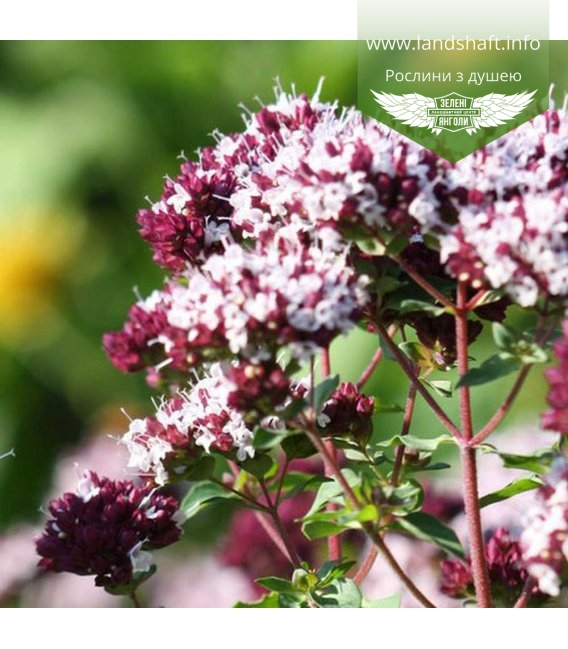 Origanum vulgare 'Zorba Red', Душица обыкновенная 'Зорба Ред'
