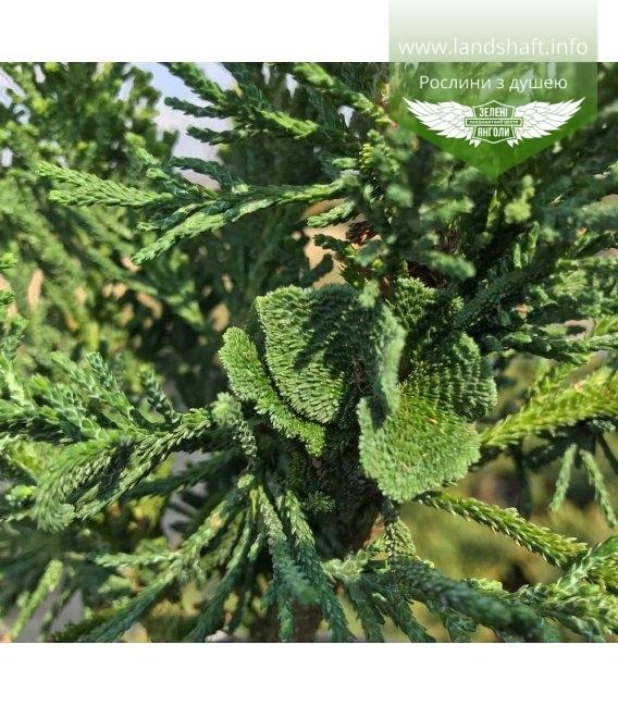 Chamaecyparis obtusa 'Drath' Кипарисовик туполистный 'Драт'