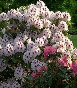 Rhododendron hybrida 'Calsap' Рододендрон гібридний 'Калсап'