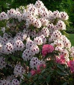 Rhododendron hybrida 'Calsap' Рододендрон гибридный 'Калсап'