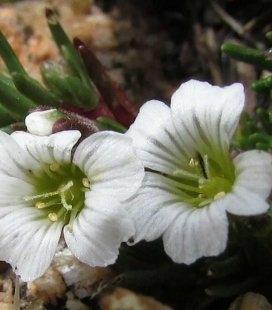 Arenaria obtusiloba, Песчанка притупленная