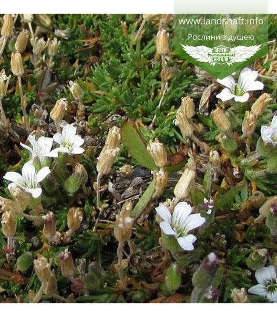 Arenaria obtusiloba, Песчанка притуплённая