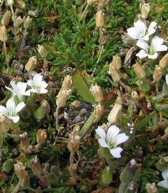Arenaria obtusiloba, Піщанка притуплена