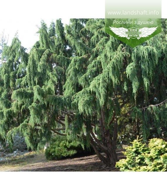 Juniperus squamata 'Wilsonii', Можжевельник чешуйчатый 'Вилсони'