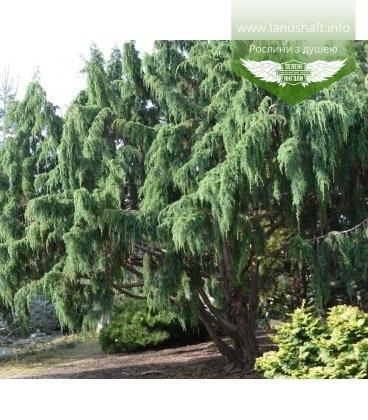 Juniperus squamata 'Wilsonii', Ялівець лускатий 'Вілсоні'