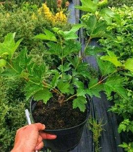Viburnum opulus 'Roseum/Boulle-de-neig', Калина червона 'Розеум/Бульденеж'