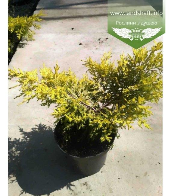 Juniperus chinensis 'Pfitzeriana Aurea', Ялівець китайський 'Пфітцеріана Ауреа'