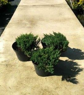 Juniperus horizontalis 'Blue Forest', Можжевельник горизонтальный 'Блу Форест'