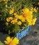 Coreopsis grandiflora 'Presto' Кореопсис крупноквітковий 'Престо'