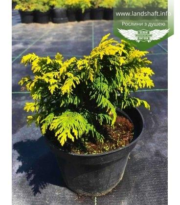 Chamaecyparis lawsoniana 'Jeanette', Кипарисовик Лавсона 'Жанет'