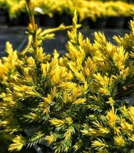 Juniperus squamata 'Dream Joy', Ялівець лускатий 'Дрім Джой'