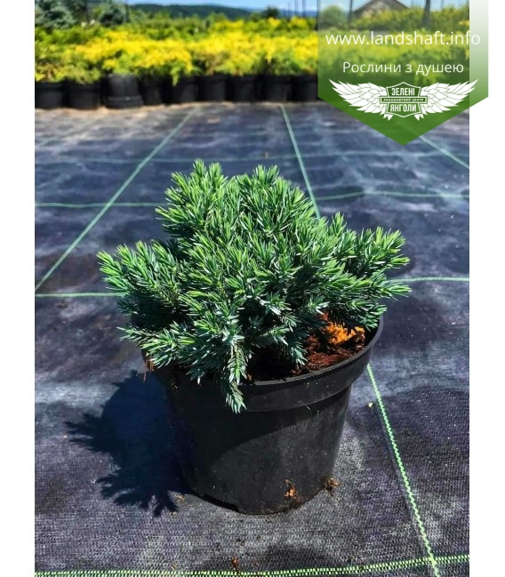 Juniperus squamata 'Blue Star', Ялівець лускатий 'Блу Стар'
