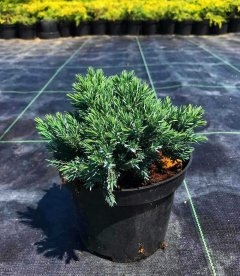 Juniperus squamata 'Blue Star', Ялівець лускатий 'Блу Стар'