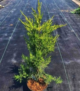 Juniperus chinensis 'Kuriwao Sunbeam', Ялівець китайський 'Курівао Санбім'