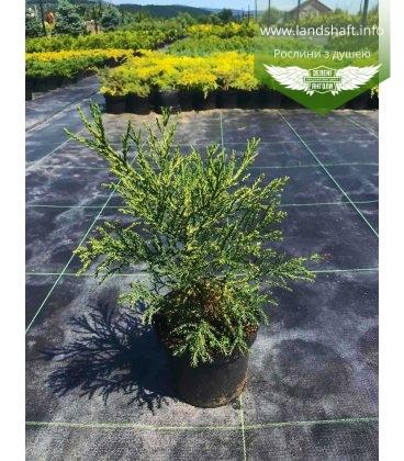 Sequoiadendron giganteum, Секвойядендрон велетенський