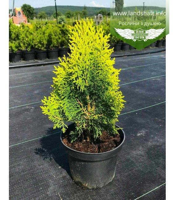 Thuja orientalis 'Aurea Nana', Туя східна 'Ауреа Нана' висота 20-30см