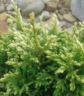 Chamaecyparis pisifera 'Golden Zwerg', Кипарисовик горохоплодный 'Голден Цверг'