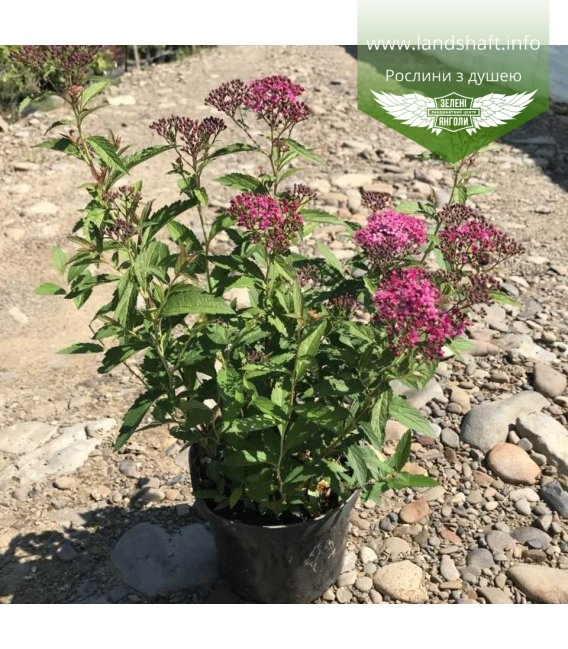 Spiraea japonica 'Anthony Waterer', Спирея японская 'Антони Ватерер'