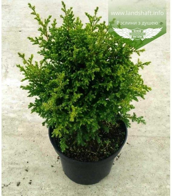 Chamaecyparis pisifera 'Juniperoides Aurea', Кипарисовик горохоплодный 'Юнипероидес Ауреа'
