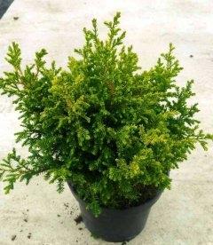 Chamaecyparis pisifera 'Juniperoides Aurea', Кипарисовик горохоплідний 'Юніпероідес Ауреа'