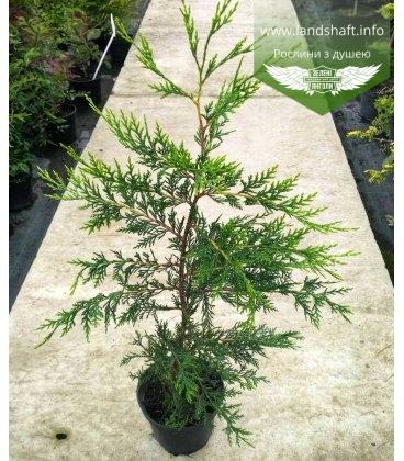 Cupressocyparis leylandii 'Castlewellan Gold', Купресоципарис Лейланда 'Кастлевелан Голд'