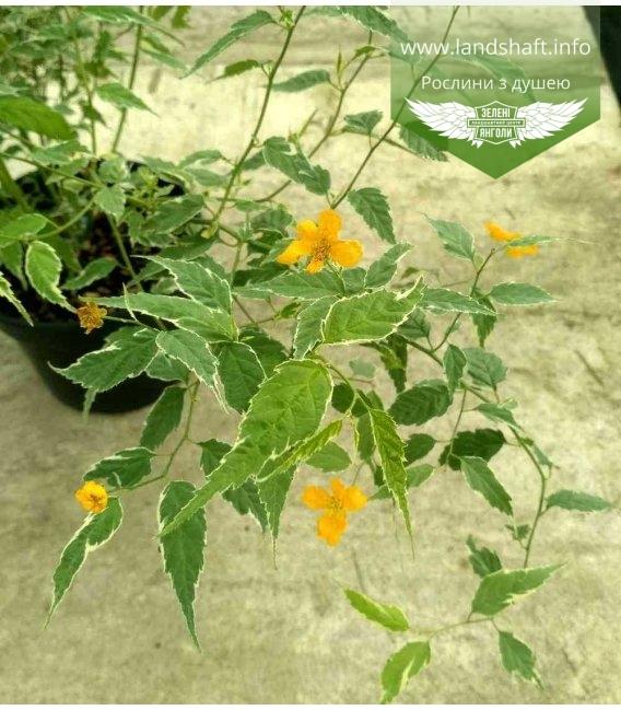 Kerria japonica 'Picta', Керия японская 'Пикта'