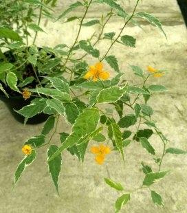 Kerria japonica 'Picta', Керрия японская 'Пикта'