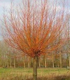 Salix alba 'Chermesina', Ива белая 'Кермесина'