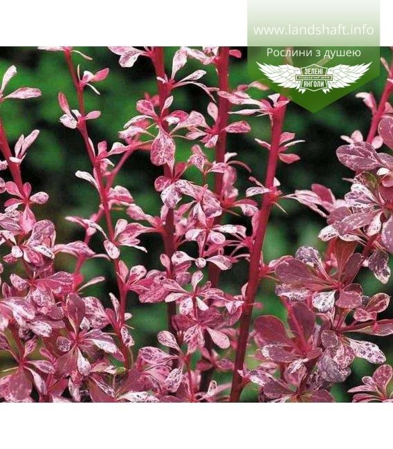 Berberis thunbergii 'Pink Attraction', Барбарис Тунберга 'Пінк Атракшн'
