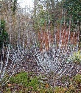 Salix irrorata, Ива увлажненная