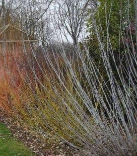 Salix irrorata, Верба зволожена