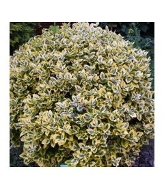 Euonymus fortunei 'Canadale Gold' Бересклет Форчуна