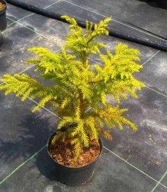 Cryptomeria japonica, Криптомерія японська