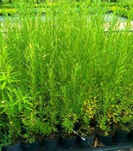 Salix smithiana, Верба Сміта