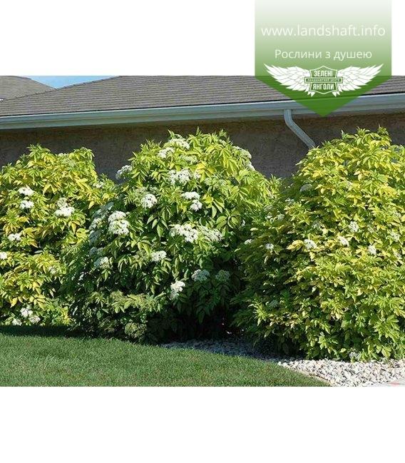 Sambucus nigra 'Aurea', Бузина канадська 'Ауреа'
