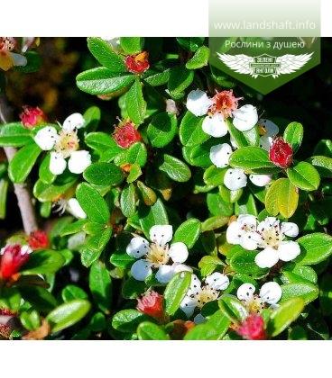 Cotoneaster x suecicus 'Skogholm', Кизильник гібридний 'Скогхолм'
