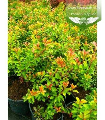 Pieris japonica, Пієріс японський