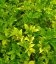 Sambucus nigra 'Aurea', Бузина канадская 'Ауреа'