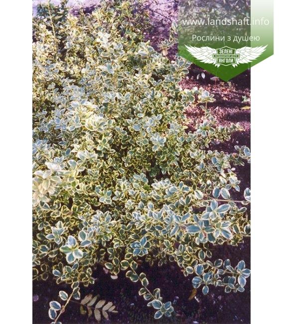 Euonymus fortunei 'Canadale Gold' Бересклет Форчуна