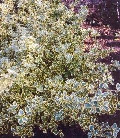 Euonymus fortunei 'Canadale Gold', Бересклет Форчуна 'Канадейл Голд'