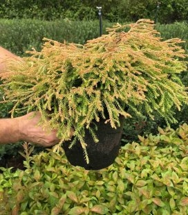 Thuja occidentalis 'Golden Tuffet' Туя западная