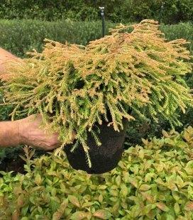 Thuja occidentalis 'Golden Tuffet', Туя западная 'Голден Таффет'