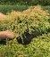 Thuja occidentalis 'Golden Tuffet', Туя західна 'Голден Таффет'