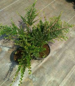 Cotoneaster perpusillus, Кизильник горизонтальний крихітний