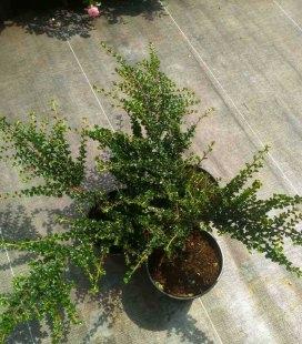 Cotoneaster perpusillus, Кизильник крохотный