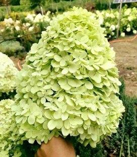 Hydrangea paniculata 'Limelight', Гортензія волотиста 'Лаймлайт'