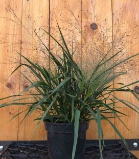Eragrostis spectabilis, Полевичка видная