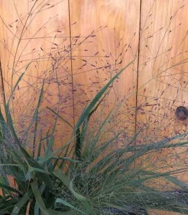 Eragrostis spectabilis, Гусятник величний